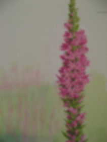 purple loostrife.png