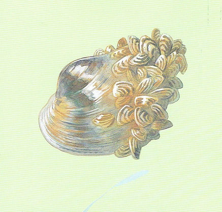 Zebra mussels.jpeg