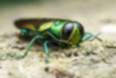 Agrilus planipennis - Emerald ash borer.