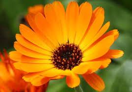 Kraut des Monats Juli: #Ringelblume - Wetterbotin sowie pflegend für die Haut.