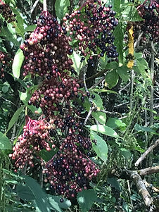 Holunder Beeren.jpg