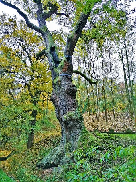 Oldřichův dub v Peruci by měl být němým svědkem legendárního setkání knížete s krásnou pradlenou