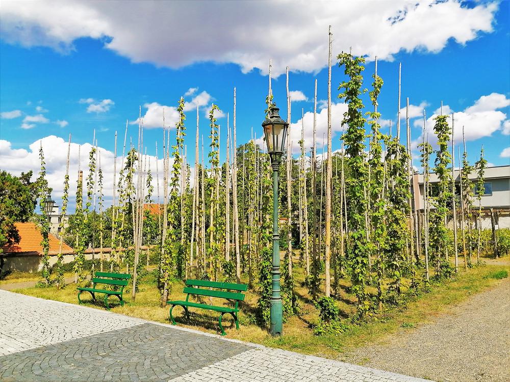 Chmelnice v žatecké Klášterní zahradě ukazuje návštěvníkům, jak se naváděl chmel v dřívějších dobách