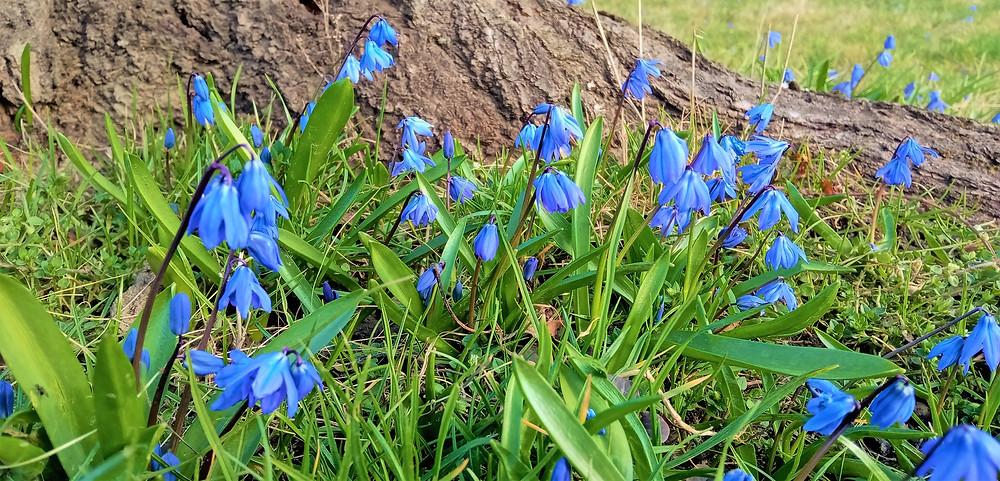 Ladoňky, které vyrazily ze zeleného trávníku a nemohly se dočkat jara