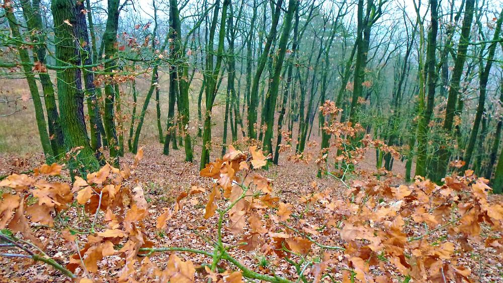 V Přírodní rezervaci Staňkovka najdeme dubový les, který vyrůstá netradičně z břidlice