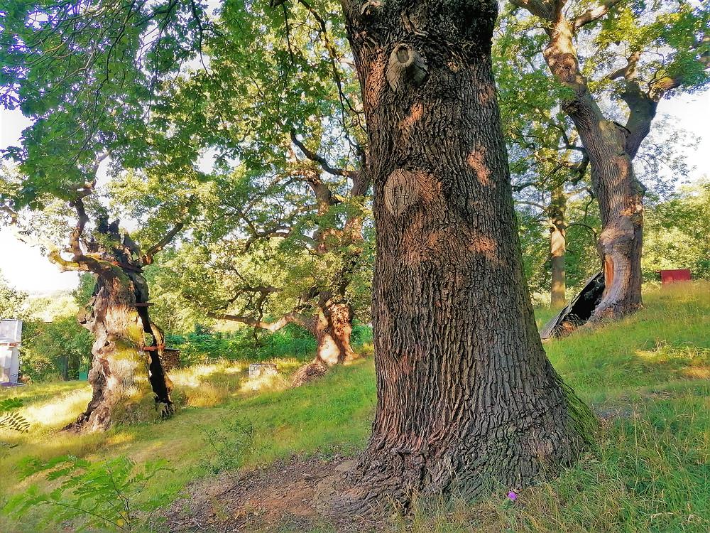 Památné stromy ve Stroupečku