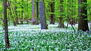 Když rozkvete Česnek medvědí v Litovelském Pomoraví, je to jako by napadl sníh