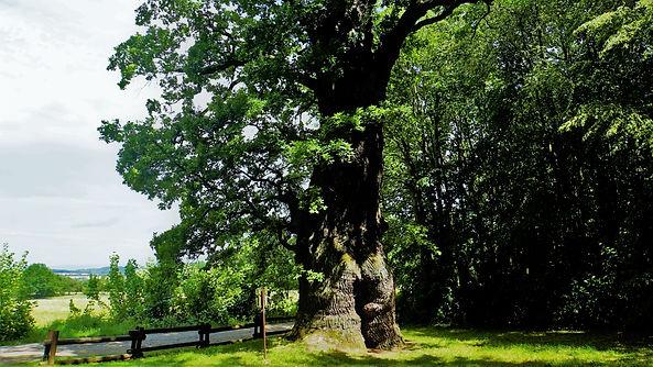 Podle legendy dokud bude Petrohradský dub stále zelený, bude v Čechách nespravedlnost