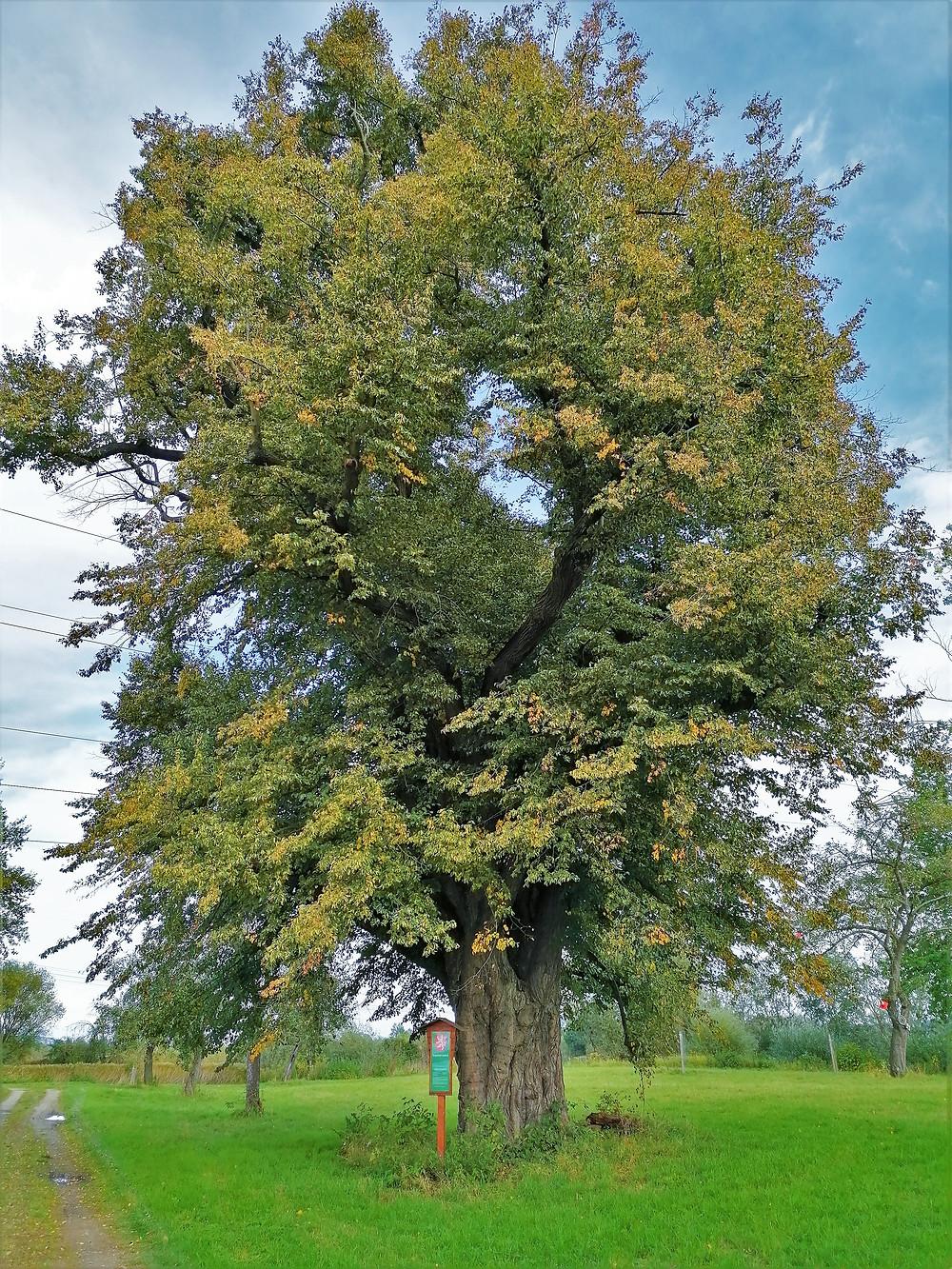 Památný strom Sušická lípa