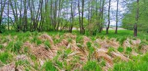 Bulty starých travin se na jaře dělají dvoubarevné; proschlou loňskou vegetací už se tlačí ta nová, šťavnatá