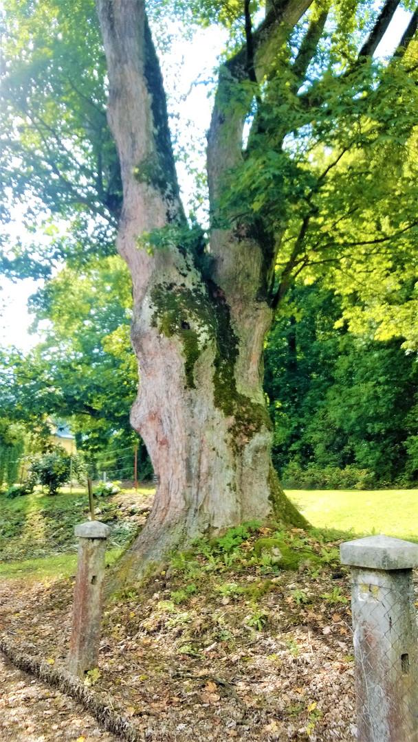 Galerie: Nejkrásnější stromy Pošumaví