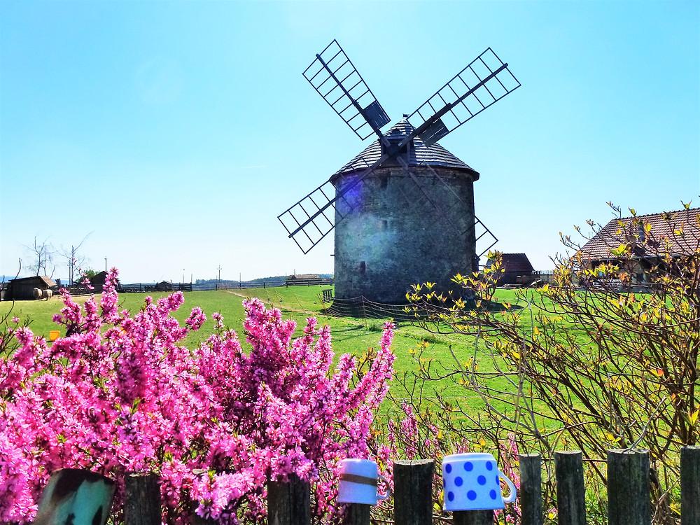Větrný mlýn v Přemyslovicích v záplavě květů