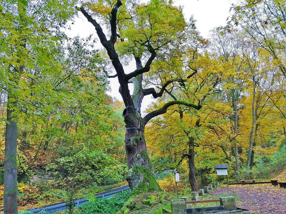 Oldřichův dub patří k největším dubům i stromům v České republice