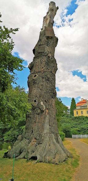 Torzo Goethova dubu v zámeckém parku Krásný Dvůr