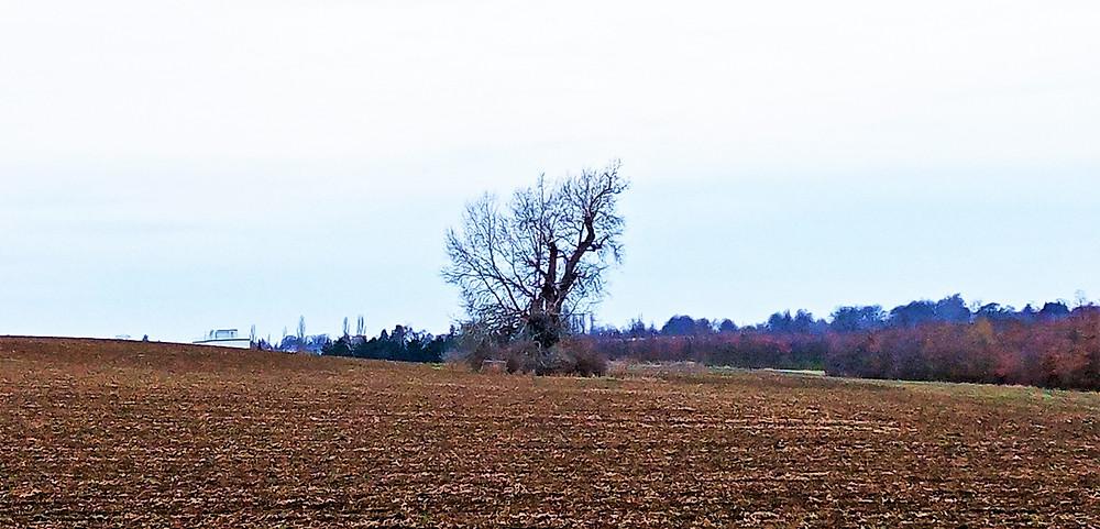 Největší český Topol bílý - najdeme ho blízko Satalic