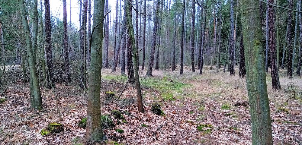 Typické složení stromového patra v PR Klánovický les; nesmíme zapomenout, že se jedná o jednu ze tří nejlepších českých houbařských lokalit