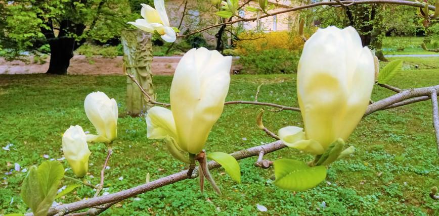 Nezvykle světle kvetoucí kultivar magnolie v arboretu v Bílé Lhotě
