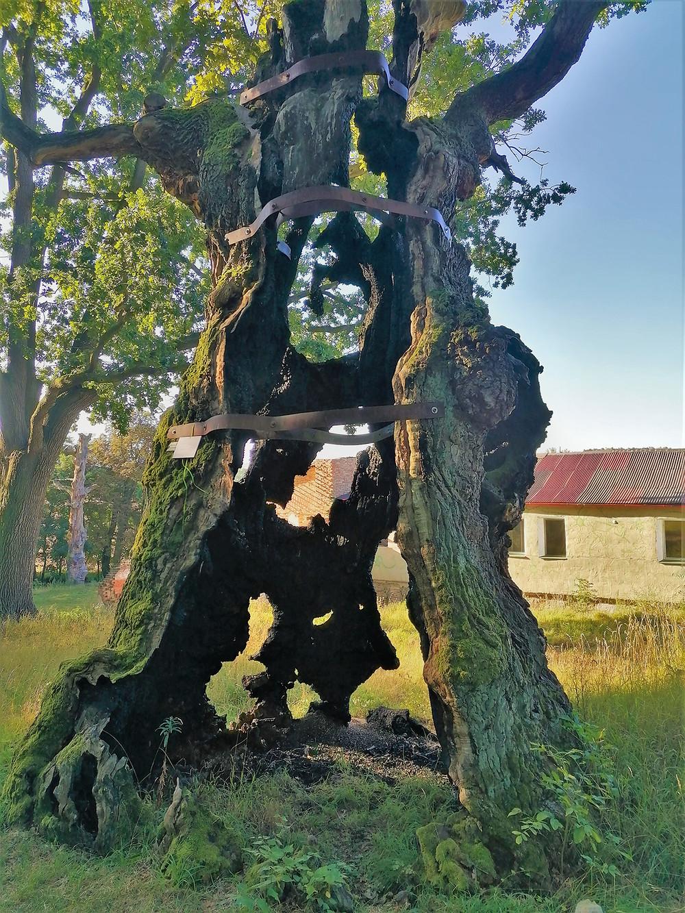 Největší z památných dubů ve Stroupečku má své dny už sečteny