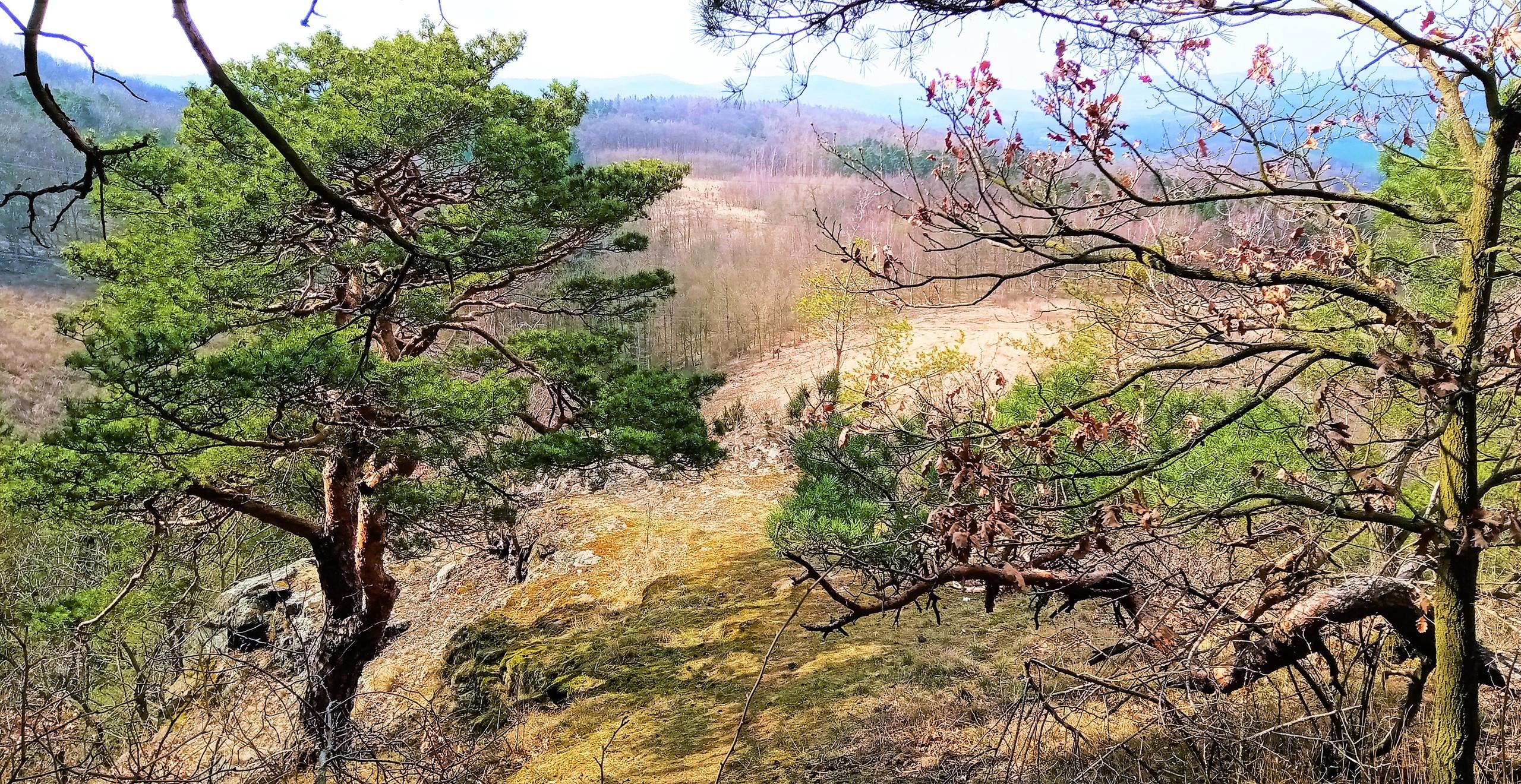 Borovice na vrcholné vyhlídce