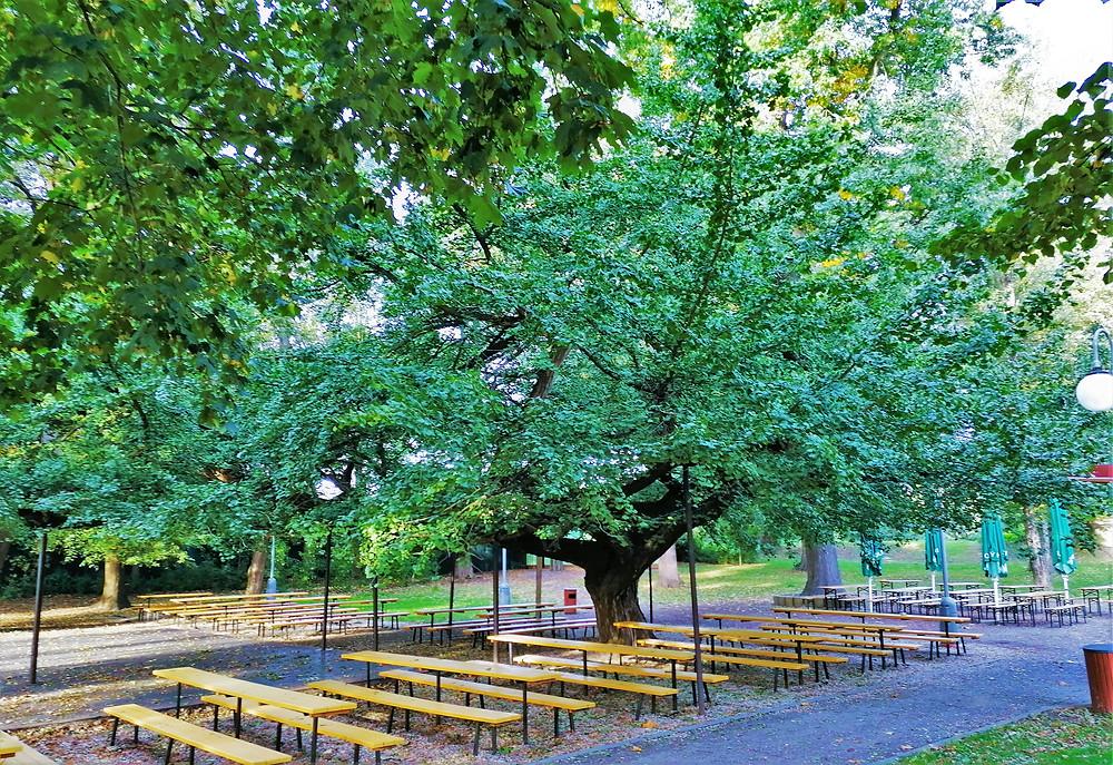 Unikátní strom Moštěnický jinan