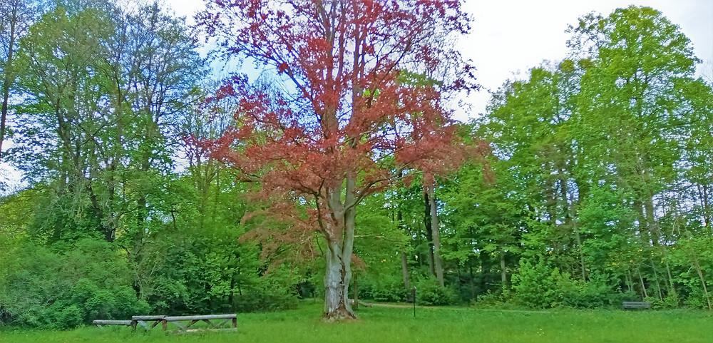 Památný strom Buk Mitrovských v Žádlovickém zámeckém parku