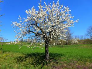 Rozkvetlé jaro při cestě na PP Na Kozénku