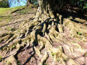 Detail kořenových náběhů u jednoho z buků v zahradě zámku Čechy pod Kosířem