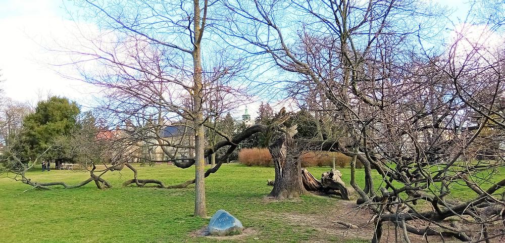 Olomoucký strom III. milénia najdeme ve Smetanových sadech