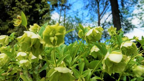 Květy Čemeřice bílé