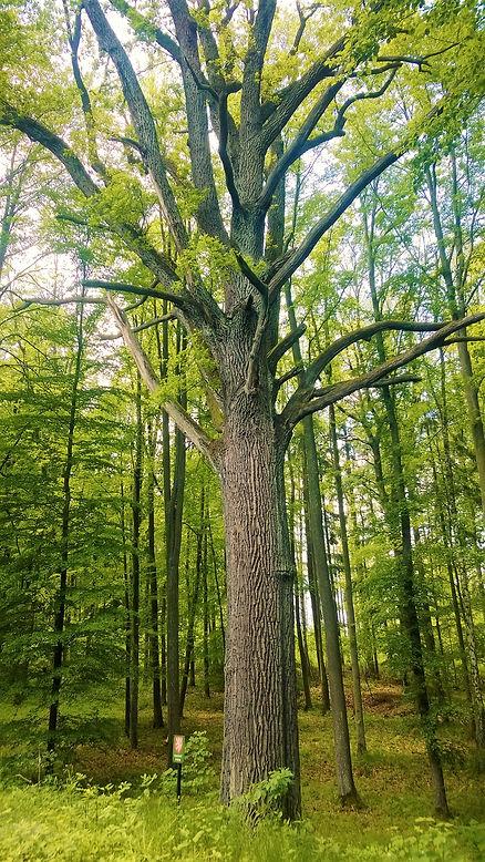 Rosenauerův dub ve Velkých Hydčicích pod