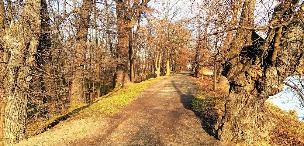 Památné Duby na hrázi Počernického rybníka
