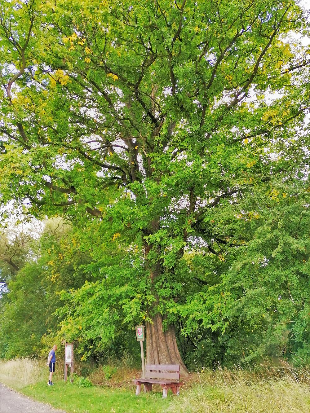 Památný strom Jilm vaz v Lenešicích