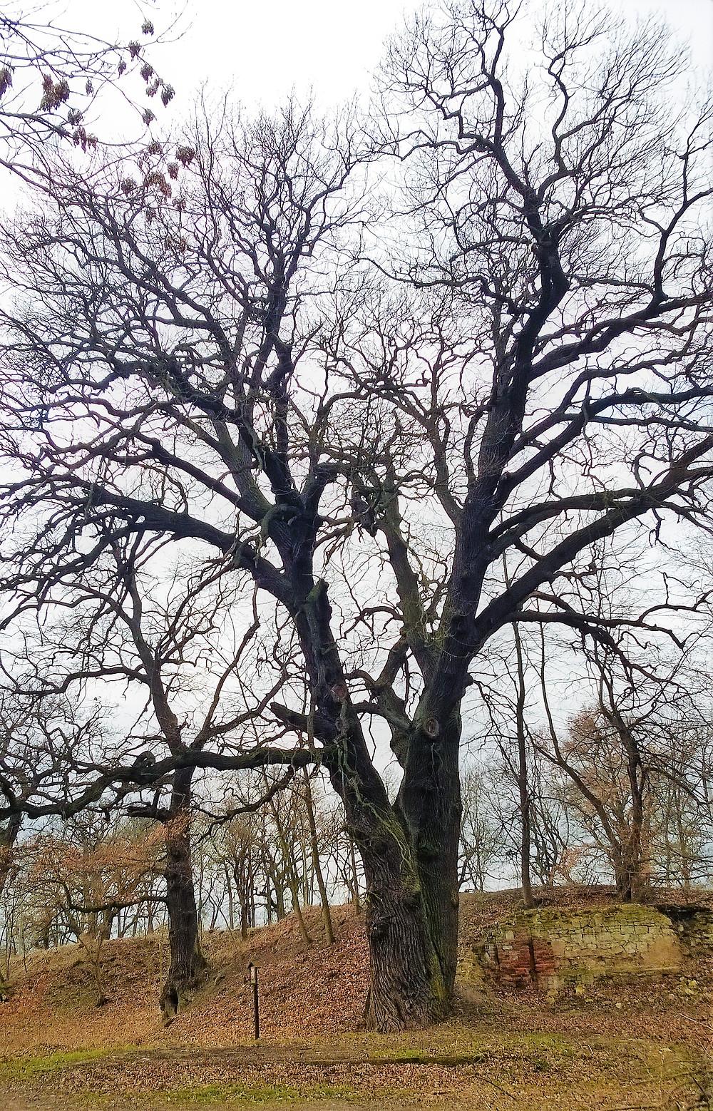 V Tuchořicích najdeme jeden z největších dubů severních Čech
