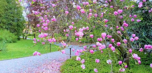 Rozkvetlá magnolie v arboretu v Bílé Lhotě