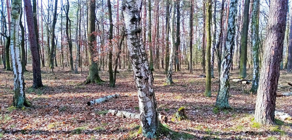 V Přírodní rezervaci Cyrilov se zachovaly poslední jedinci vzácné Břízy pýřité; ta má matnou a více šedou kůru a její listy jsou vejčité a špičaté