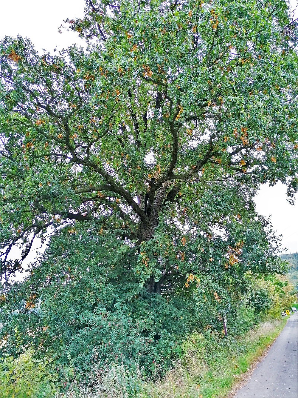 Wawerkův dub na Podhůře