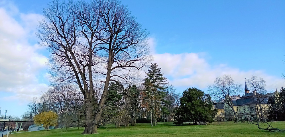 Největší olomoucký strom - Rudolfův dub