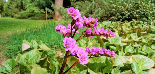 Fialový květ rozchodníku nabízí až omračující odstín barvy