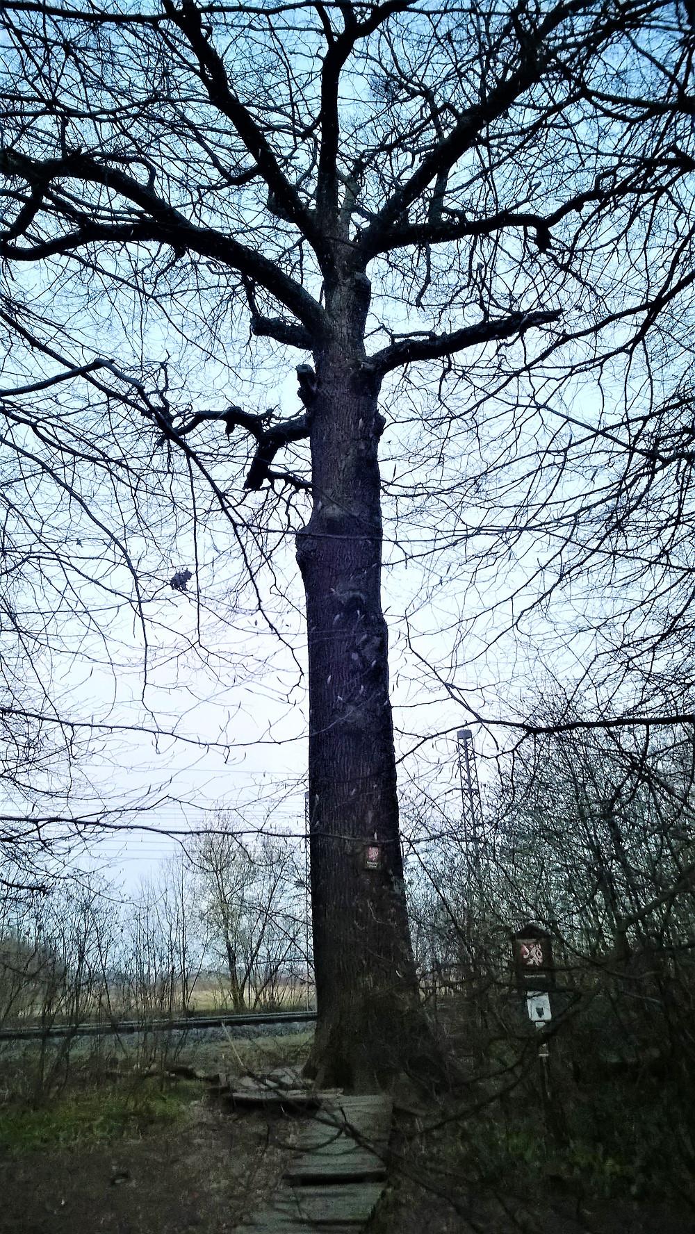 Legendární strom Dub král