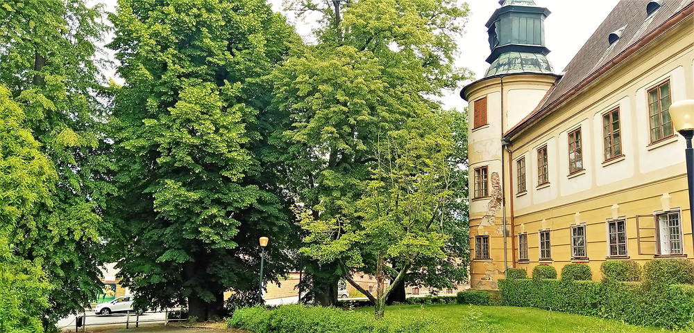 Bludovská lípa stojí v těsné blízkosti zámku