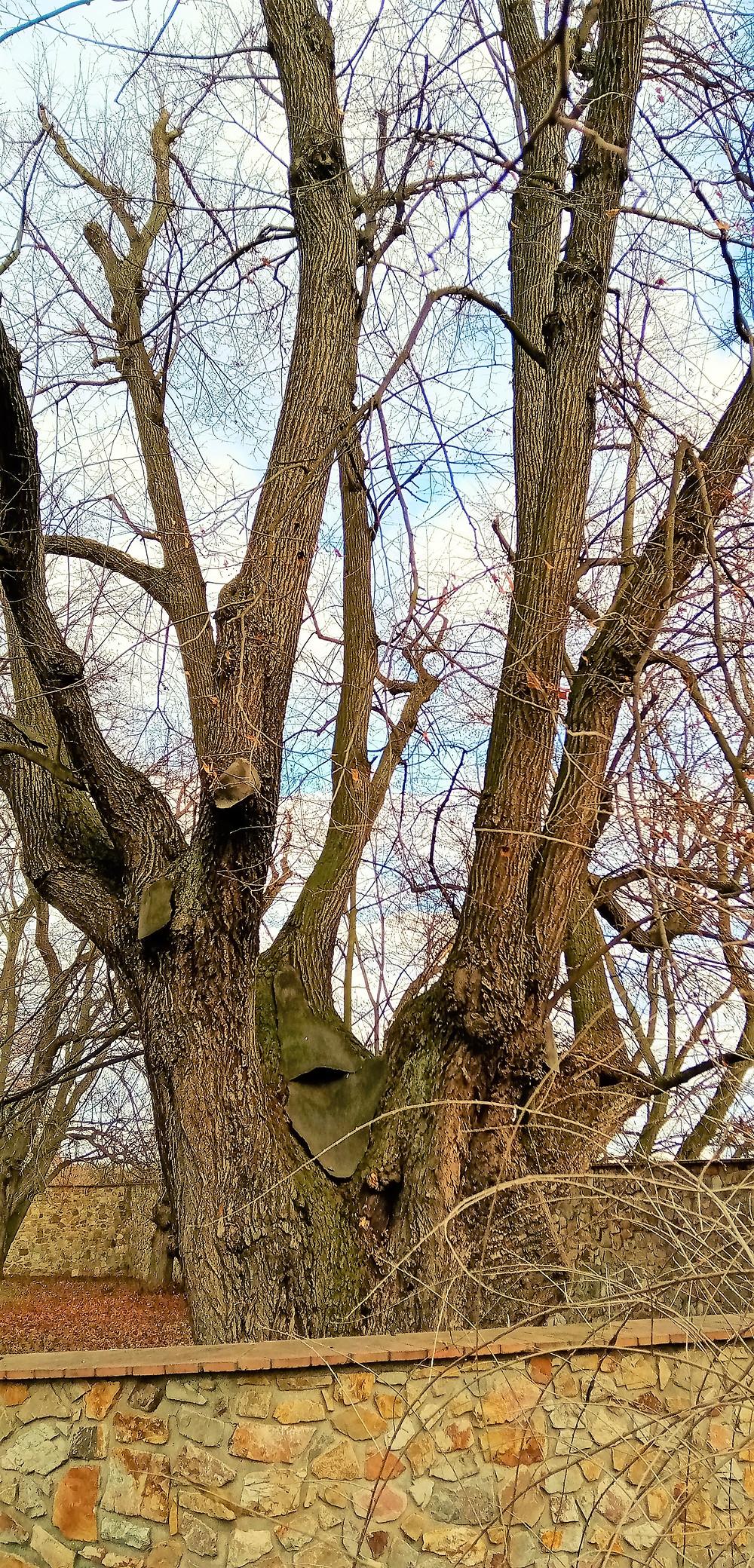 Největší pražská lípy - Rodová lípa v Chabech