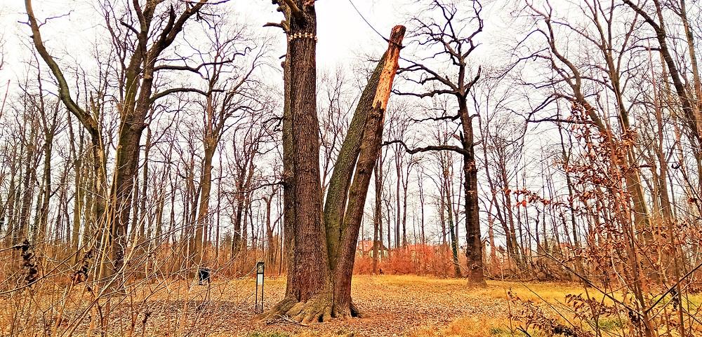 Chráněné duby na palouku v Satalické bažantnici