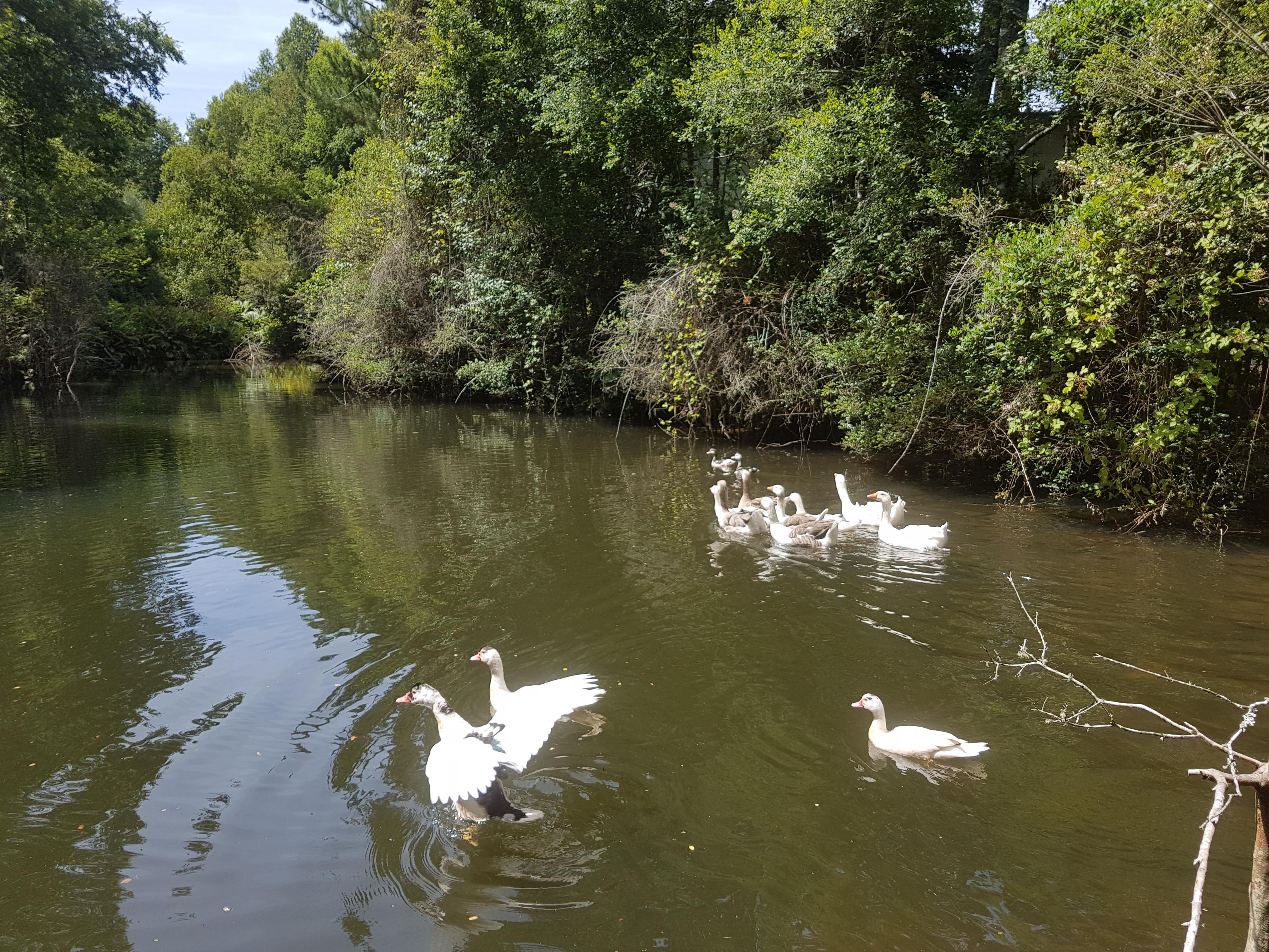 Laguna de patos y gansos