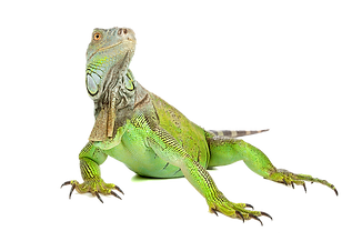 iguana-png-iguana-png-image-900.png