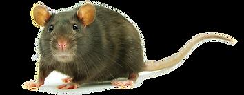 Rat-PNG-Clipart.png