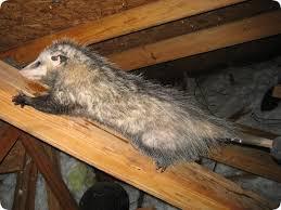 possum attic