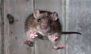 Flying Rat