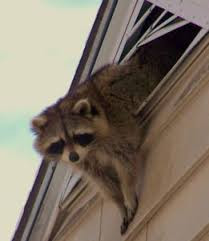 racoon in attic 2
