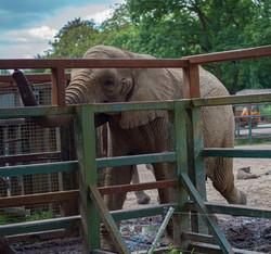 Howlett's Kent Safari walk elephant