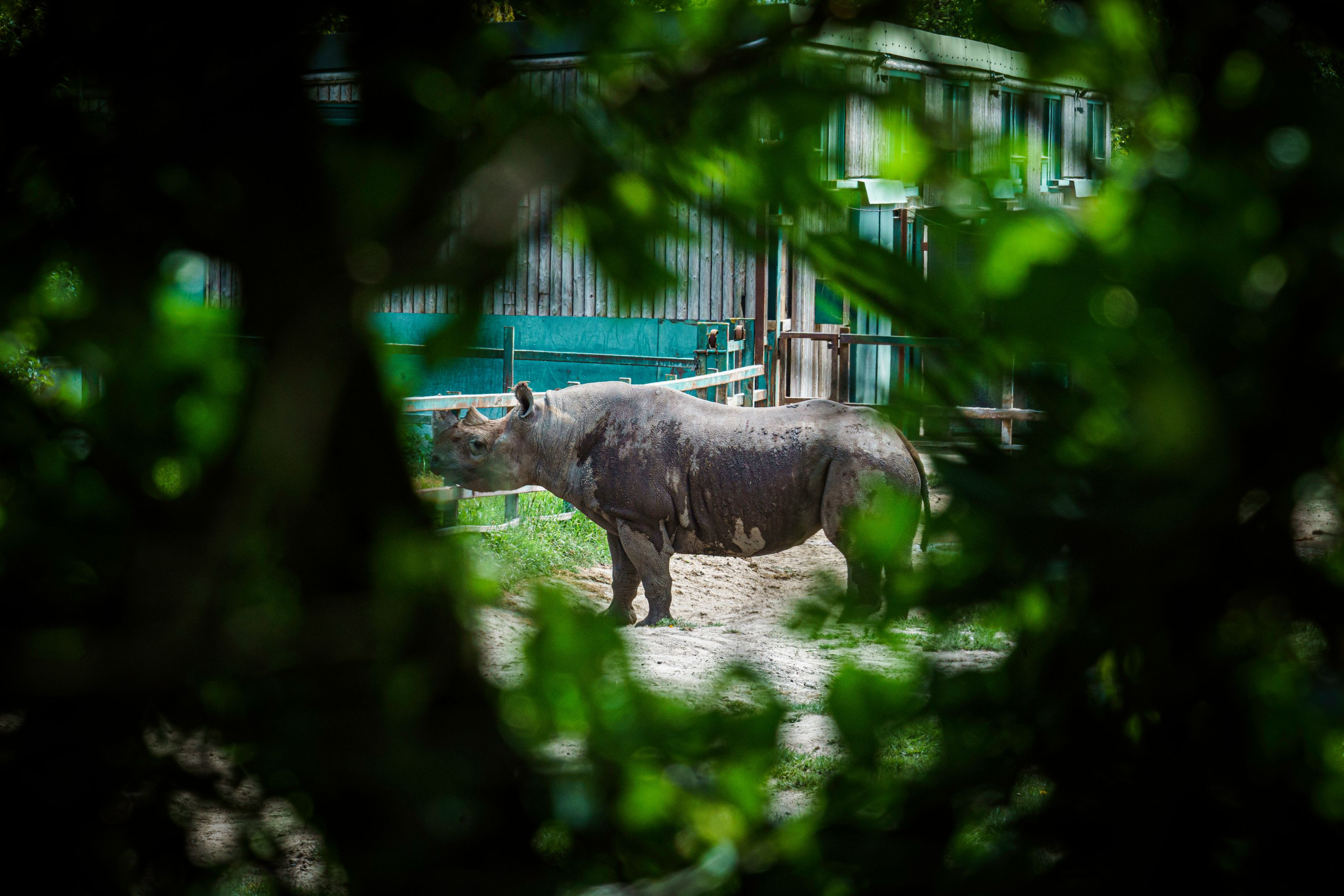 Howlett's Kent Safari walk Rhino